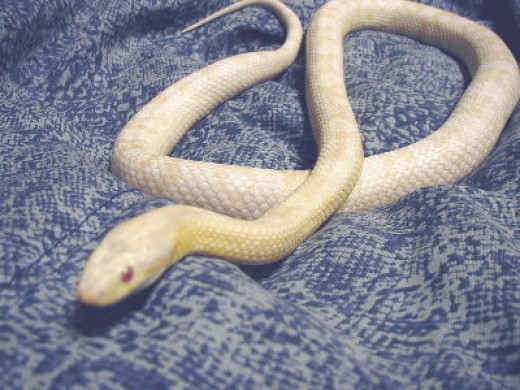 Here is a Snow Colored Corn Snake