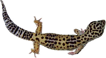 Adult Female Leopard Gecko
