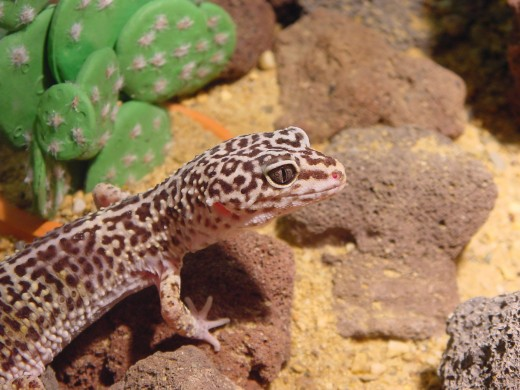Another beautiful Leopard Gecko