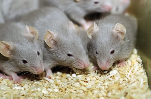 photo courtesy of http://media.photobucket.com/image/mice/sweetslove_2009/animal/mice.jpg?o=182