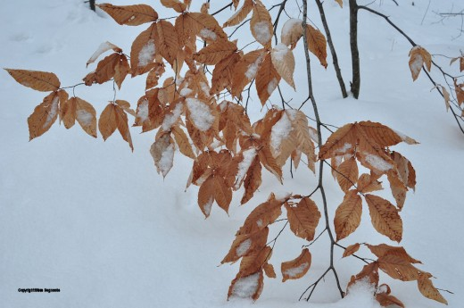Beech leaves are providing some of the only consistent color in a black and white wintry world.