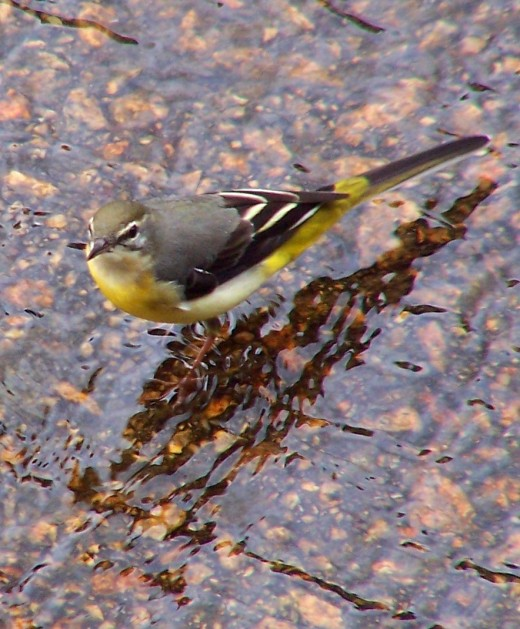 The grey wagtail is found by water. They are often mistaken for the similar yellow wagtail. photograph by Andreas Trepte