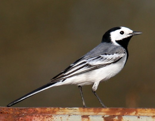 The pied wagtail is found in urban areas. This photograph by Kclama is of a white wagtail a variant of the true pied wagtail.