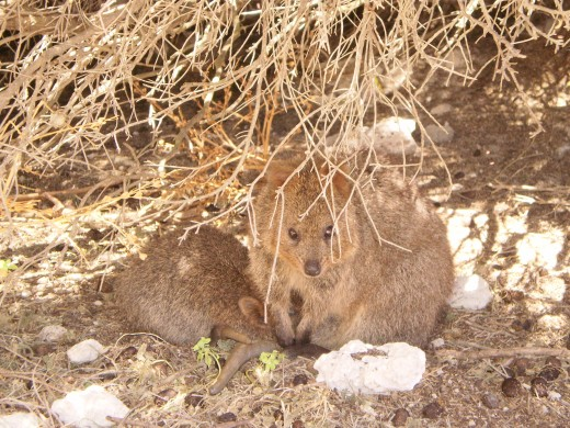 The quokka hiding in the shade