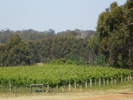 Vineyard at Margaret River