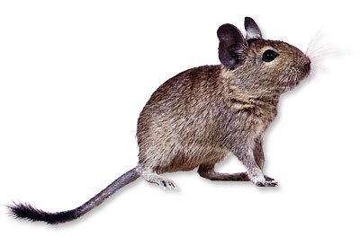Many people hear the name Degu and wonder now what in the world is a Degu. Degu's are also referred to as Brush Tail Rats.
