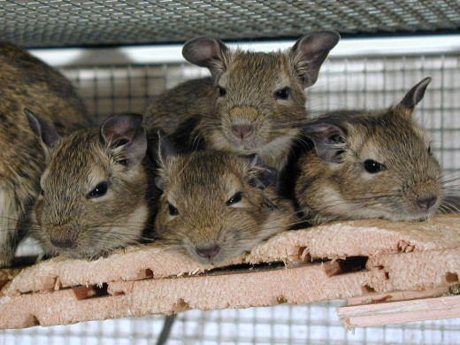 Degu's are social animals and like to live in groups. Don't try to keep one Degu by its self.