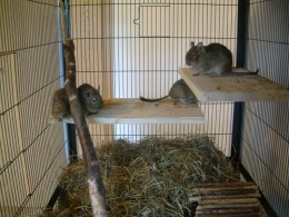You really need to keep three or more Degu's together in a large cage or enclosure for them to be happy.