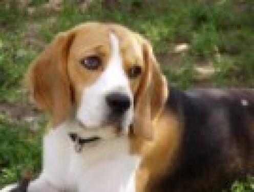 A Beautiful Beagle...It's A Dog, Not A Child