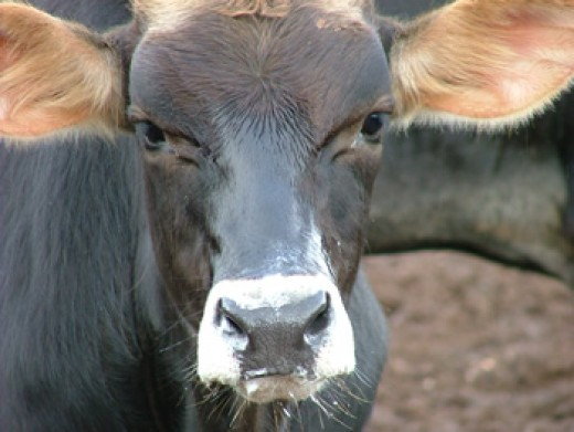 Brazilian Bull