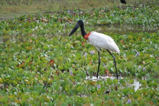 Jabiru-Stork, symbol of the Pantanal