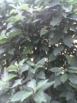 the bitter leaf plant