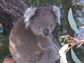Koala at the Australian national Zoo, I have to wait until it wakes up before I can get this pic