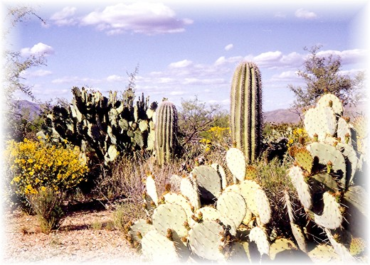 Many different forms of cactus in addition to the saguaros
