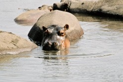 7 Fascinating Facts on The Hippo