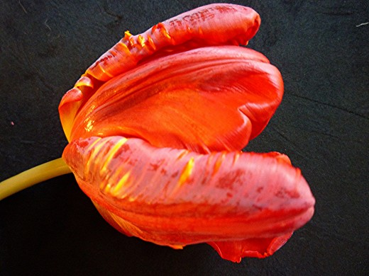 Side view of tulip against a black mat