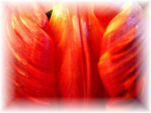 Closeup of tulip petals
