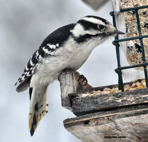 A downy woodpecker checks out the suet.