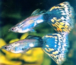 The colorful guppies. Photo from tripod.com