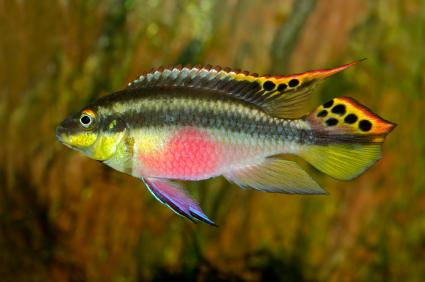 The highly territorial cichlid the Kribensis.