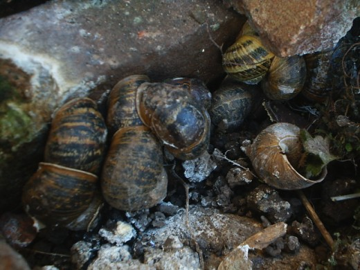 Garden snails under one brick!