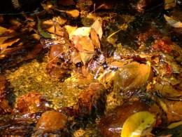 Colorful leaves fallen in the stream. photo taken by Marian Gagliardi