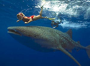 """Whale shark or """"butanding"""" which are docile and you can  swim with them at Sorsogon Island, Philippines, photo courtesy of http://www.kansaiscene.com/2006_07/images/travel_shark2.jpg"""