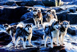 Canadian Eskimo Dog Team on the Rocks