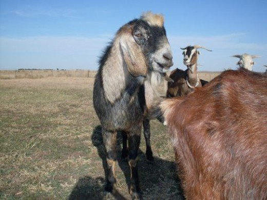 """Lance, aka """"Mr. Stinky"""", shows off his fine herd sire physique. He passed away in 2008."""