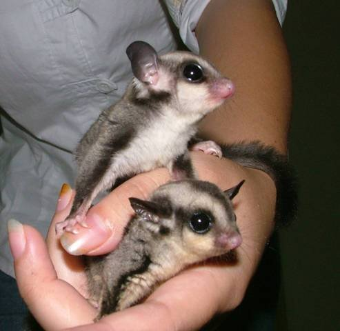 Sugar Gliders Are One Of The Greatest Pets Ever