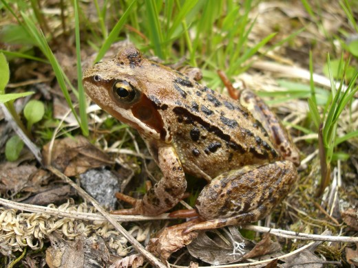 FROGS ARE FOUND IN MANY GARDEN PONDS . THEY ARE USEFUL PREDATORS. PICTURE COURTESY OF Chmee2