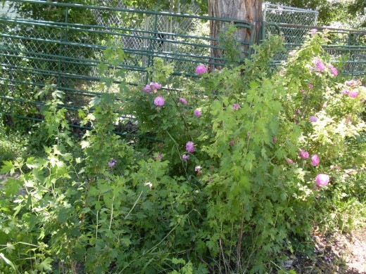 There were grape vines and roses to nibble, as well as grasses and cottonwood leaves.