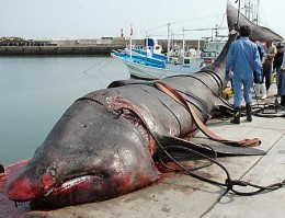 A real Basking shark