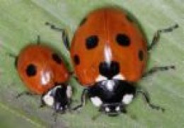 The seven spot and the two spot, which until recently were common, are under threat along with the rarer five spot.