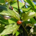 Ladybirds are most commonly found in Small shrubs, trees, and grass.