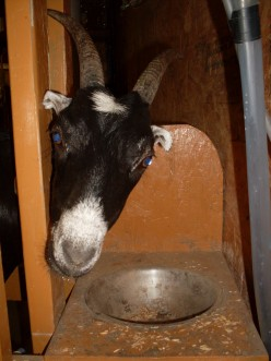 Milking the Goats: A Photo Essay On Dairy Goat Care at Milking Time
