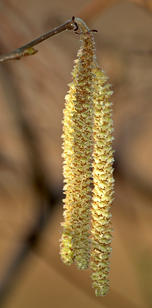 The elongated catkins hang like tassels. Photograph by Andre Karwarth