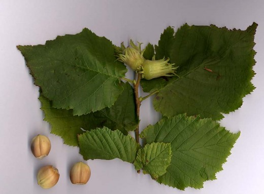 Leaves and nuts of the hazel. photograph by Lemmikkipuu