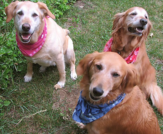 Gracie (Lab/Great Dane mix), Lucy & Lani Golden Retrievers - all rescued pups.