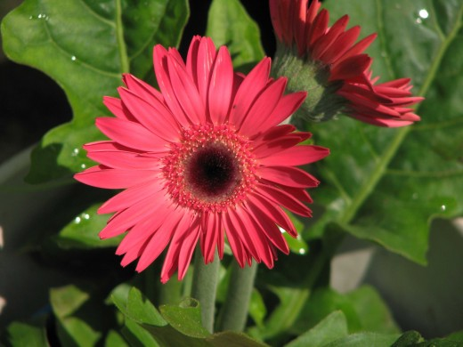 Gerbera Daisies are beautiful and easy to grow as long as you know they need LOTS of water and sunshine.