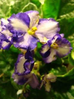 Caring for Your African Violet Plant