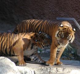 Shaolin Kempo tigers (wbcc-online.com)