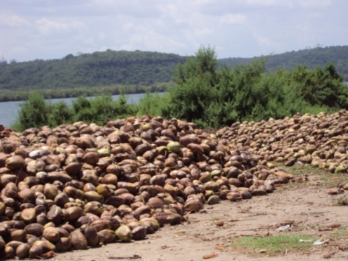 Husking cocnuts next to the Pangani River