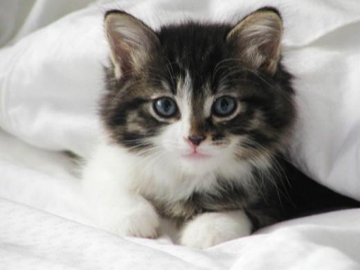 5 Cat Urinary Infection Symptoms - Vetinfo.com
