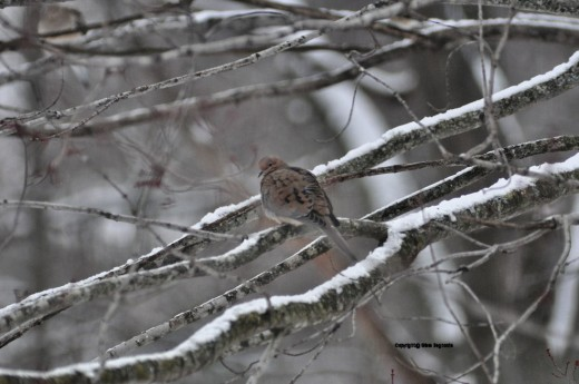A mourning dove rests in a maple.