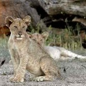 lionswhelp profile image