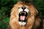 Fear overwhelmed them at the sound of my voice,many will gather against me but God has given me authority to take heed against all my enemies.I am the king of the Jungle. (Rossi)