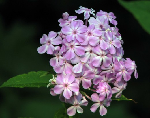 Perennial Phlox comes in white, purple, pink, salmon and red and make beautiful cut flower arrangements.