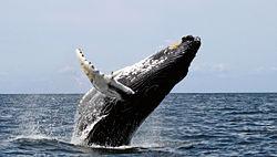 Humback whale 'breaching'