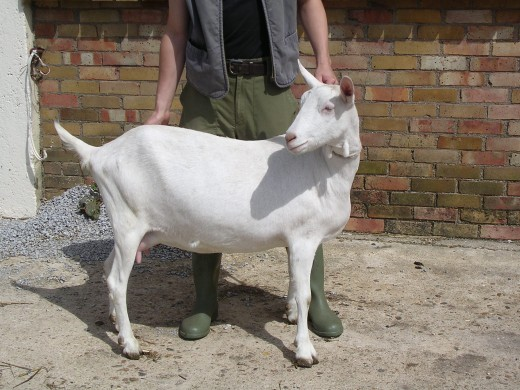 British Saanen Goat